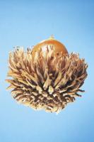 クヌギの実(ドングリ) 32053000227| 写真素材・ストックフォト・画像・イラスト素材|アマナイメージズ
