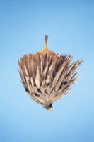 カシワの実(ドングリ) 32053000229| 写真素材・ストックフォト・画像・イラスト素材|アマナイメージズ