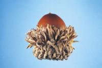 アベマキの実(ドングリ) 32053000235| 写真素材・ストックフォト・画像・イラスト素材|アマナイメージズ