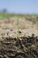 籾の成長アップ 種まきから15日目