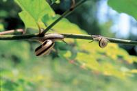 雨上がりのカタツムリの仲間 成体と幼体