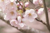 サクラ 変化 14-10 開花