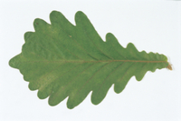 カシワの葉(長さ20センチ)