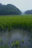 水田に降る雨