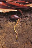落葉の下で根を伸ばしたコナラの実:地中断面