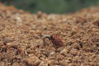 オオオナモミの芽生