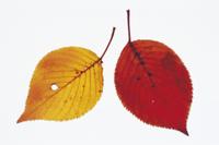 サクラの紅葉 32053000644| 写真素材・ストックフォト・画像・イラスト素材|アマナイメージズ