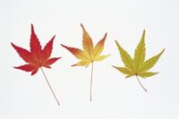 イロハモミジ(イロハカエデ・タカオカエデ)の紅葉 32053000647| 写真素材・ストックフォト・画像・イラスト素材|アマナイメージズ