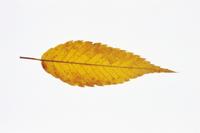 ケヤキの黄葉 32053000649| 写真素材・ストックフォト・画像・イラスト素材|アマナイメージズ