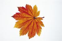 ハウチワカエデの紅葉 32053000652| 写真素材・ストックフォト・画像・イラスト素材|アマナイメージズ