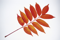 ハゼノキの紅葉 32053000655| 写真素材・ストックフォト・画像・イラスト素材|アマナイメージズ