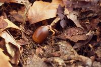 初冬の雑木林にて 根を出したコナラの実 32053000710| 写真素材・ストックフォト・画像・イラスト素材|アマナイメージズ