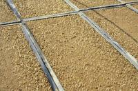 籾の成長 芽を出し始めた籾 春
