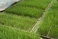 籾の成長 すくすく育つ早苗 春