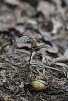 アラカシ 発芽から葉が生長をはじめる
