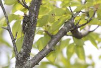 クマゼミのオス 桜の枝で鳴く