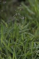 チゴザサ 水田脇で咲く