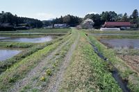 カントウタンポポの咲く農道