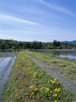 カンサイタンポポの咲くあぜ道 水の入った水田とすじ雲