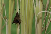 チャバネセセリの羽化 18-15 羽がどんどん伸びる(15:40) 32053002234| 写真素材・ストックフォト・画像・イラスト素材|アマナイメージズ