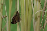 チャバネセセリの羽化 18-16 羽を広げて体を乾かす(15:42) 32053002235| 写真素材・ストックフォト・画像・イラスト素材|アマナイメージズ