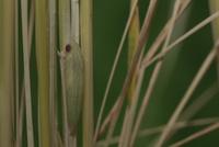 チャバネセセリの羽化 22-1 イネの根元、羽化前日に目が茶色くなる 32053002238| 写真素材・ストックフォト・画像・イラスト素材|アマナイメージズ