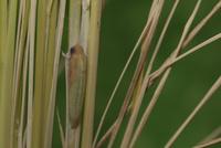 チャバネセセリの羽化 22-2 羽化当日、体が色づきはじめる(12:19) 32053002239| 写真素材・ストックフォト・画像・イラスト素材|アマナイメージズ