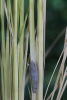 チャバネセセリの羽化 22-9 背中が割れ羽化を開始(1:45) 32053002241| 写真素材・ストックフォト・画像・イラスト素材|アマナイメージズ