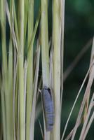 チャバネセセリの羽化 22-10 背中から頭部が割れる(1:46) 32053002242| 写真素材・ストックフォト・画像・イラスト素材|アマナイメージズ