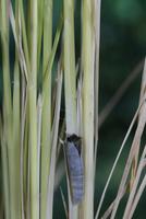 チャバネセセリの羽化 22-11 頭が見えはじめる(1:46) 32053002243| 写真素材・ストックフォト・画像・イラスト素材|アマナイメージズ