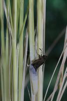チャバネセセリの羽化 22-13 茎につかまりながら体を抜いていく(1:46) 32053002245| 写真素材・ストックフォト・画像・イラスト素材|アマナイメージズ