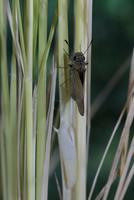 チャバネセセリの羽化 22-19 羽がどんどん伸びていく(1:55) 32053002246| 写真素材・ストックフォト・画像・イラスト素材|アマナイメージズ