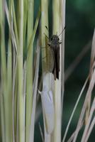 チャバネセセリの羽化 22-20 羽を開きはじめる(2:11) 32053002247| 写真素材・ストックフォト・画像・イラスト素材|アマナイメージズ