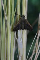 チャバネセセリの羽化 22-21 羽を開き体を乾かす(2:15) 32053002248| 写真素材・ストックフォト・画像・イラスト素材|アマナイメージズ