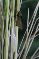 チャバネセセリの羽化 22-22 羽を閉じ羽化完了(2:27) 32053002249| 写真素材・ストックフォト・画像・イラスト素材|アマナイメージズ