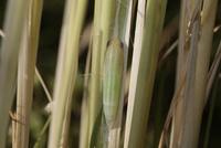 チャバネセセリの羽化 18-1 蛹化から9日目、羽化前日に目が茶色くなる 32053002304| 写真素材・ストックフォト・画像・イラスト素材|アマナイメージズ