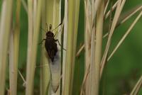 チャバネセセリの羽化 18-12 イネの茎につかまり体を抜いていく(15:37) 32053002309| 写真素材・ストックフォト・画像・イラスト素材|アマナイメージズ