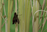 チャバネセセリの羽化 18-14 茎を登り羽を伸ばしはじめる(15:39) 32053002311| 写真素材・ストックフォト・画像・イラスト素材|アマナイメージズ