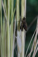 チャバネセセリの羽化 22-15 羽を伸ばしはじめる(1:47) 32053002318| 写真素材・ストックフォト・画像・イラスト素材|アマナイメージズ