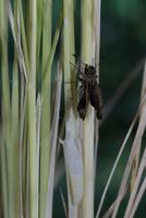 チャバネセセリの羽化 22-16 羽がどんどん伸びていく(1:47) 32053002319| 写真素材・ストックフォト・画像・イラスト素材|アマナイメージズ