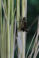 チャバネセセリの羽化 22-17 羽がどんどん伸びていく(1:49) 32053002320| 写真素材・ストックフォト・画像・イラスト素材|アマナイメージズ