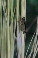 チャバネセセリの羽化 22-18 羽がどんどん伸びていく(1:50) 32053002321| 写真素材・ストックフォト・画像・イラスト素材|アマナイメージズ