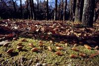 コナラの実がたくさん落ちている 32053002456| 写真素材・ストックフォト・画像・イラスト素材|アマナイメージズ