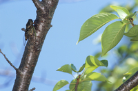 桜の木で羽を広げて鳴くクマゼミ