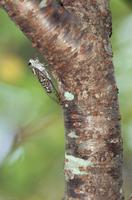桜の木で鳴くツクツクボウシ