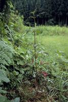 アメリカセンダングサ 発芽から約130日目