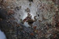 ジョロウグモの卵嚢 木くずでカムフラージュした卵嚢で越冬する