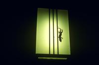 玄関の灯りにやって来たニホンヤモリ 32053003049| 写真素材・ストックフォト・画像・イラスト素材|アマナイメージズ
