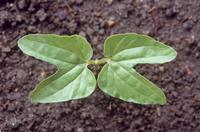 アサガオ 発芽から6日目 (双葉のサイズ:左右70?)