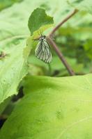 雨の日のエゾシロチョウ